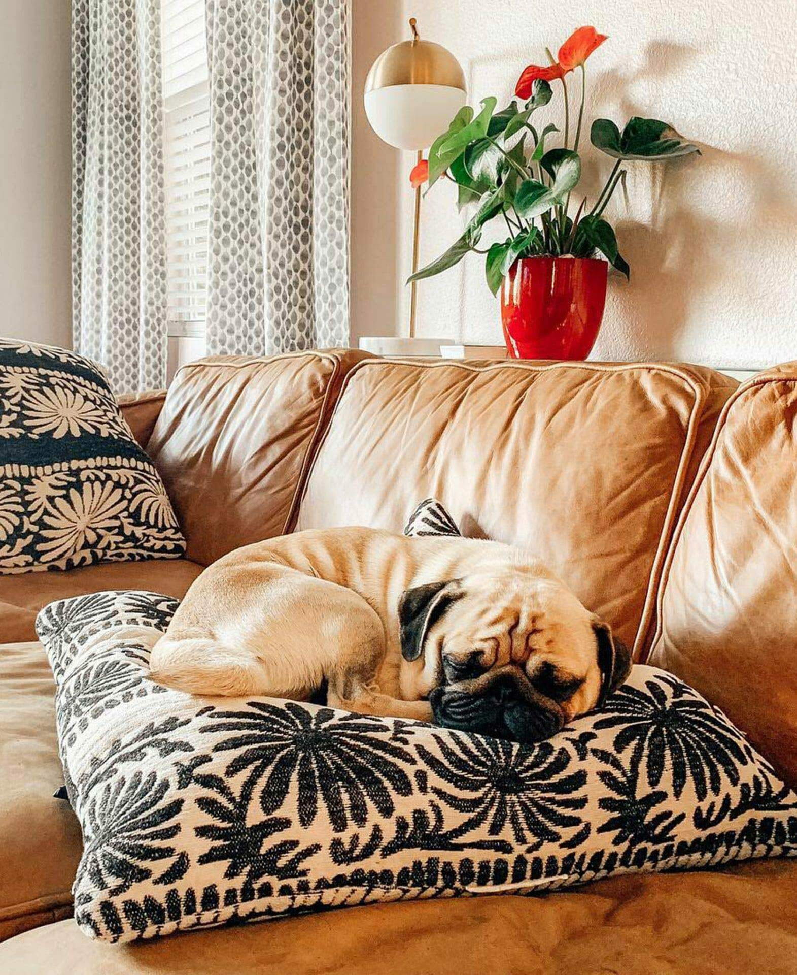 Pug dog relaxes on an Article leather sofa from @teeshirtbabe
