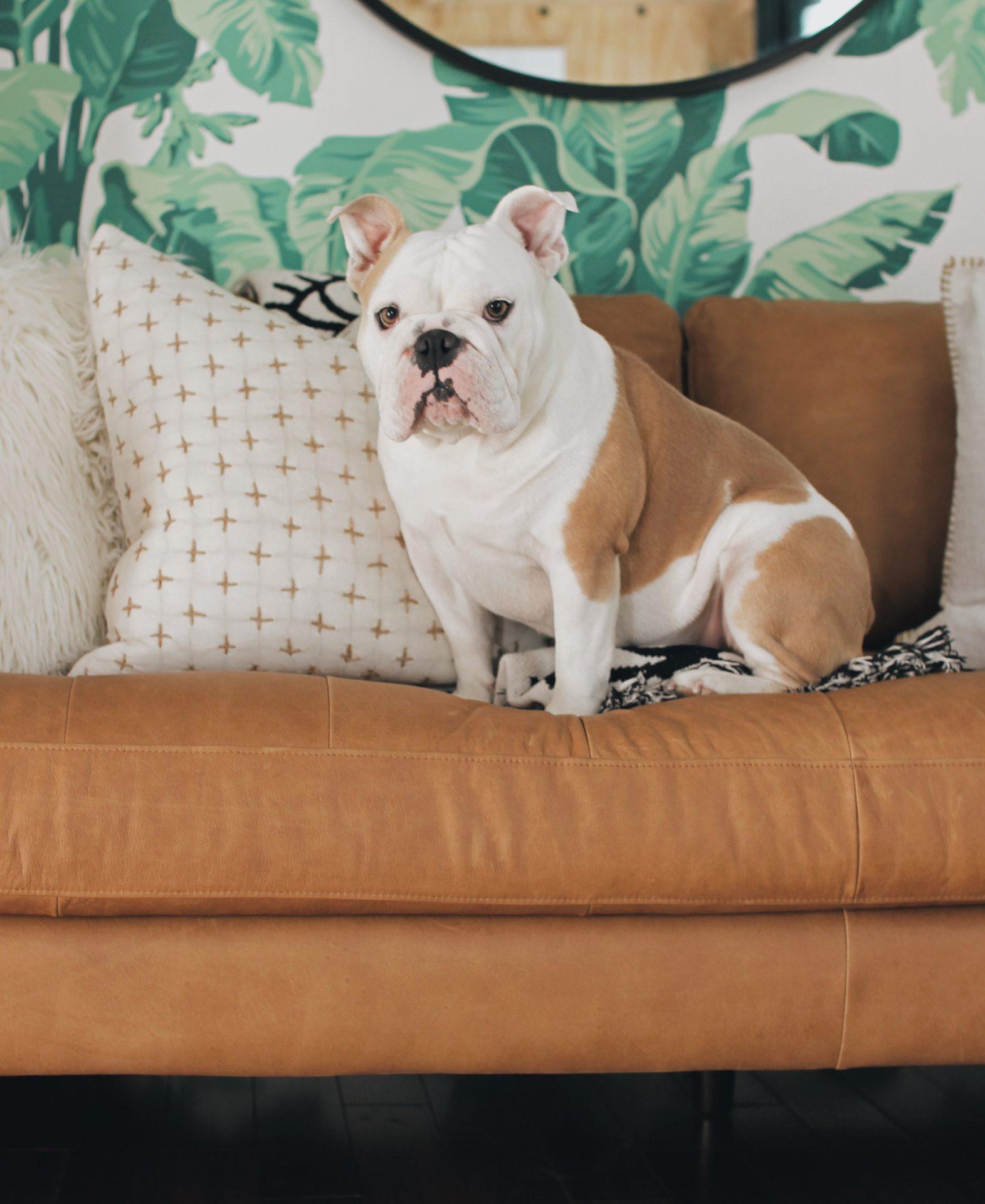 Rachel Metz's bulldog sits on the Article Sven sofa