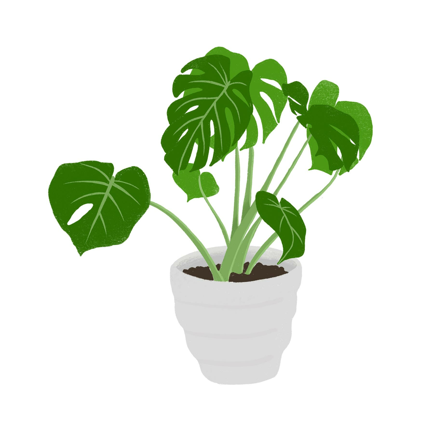 An illustration of a monstera plant.