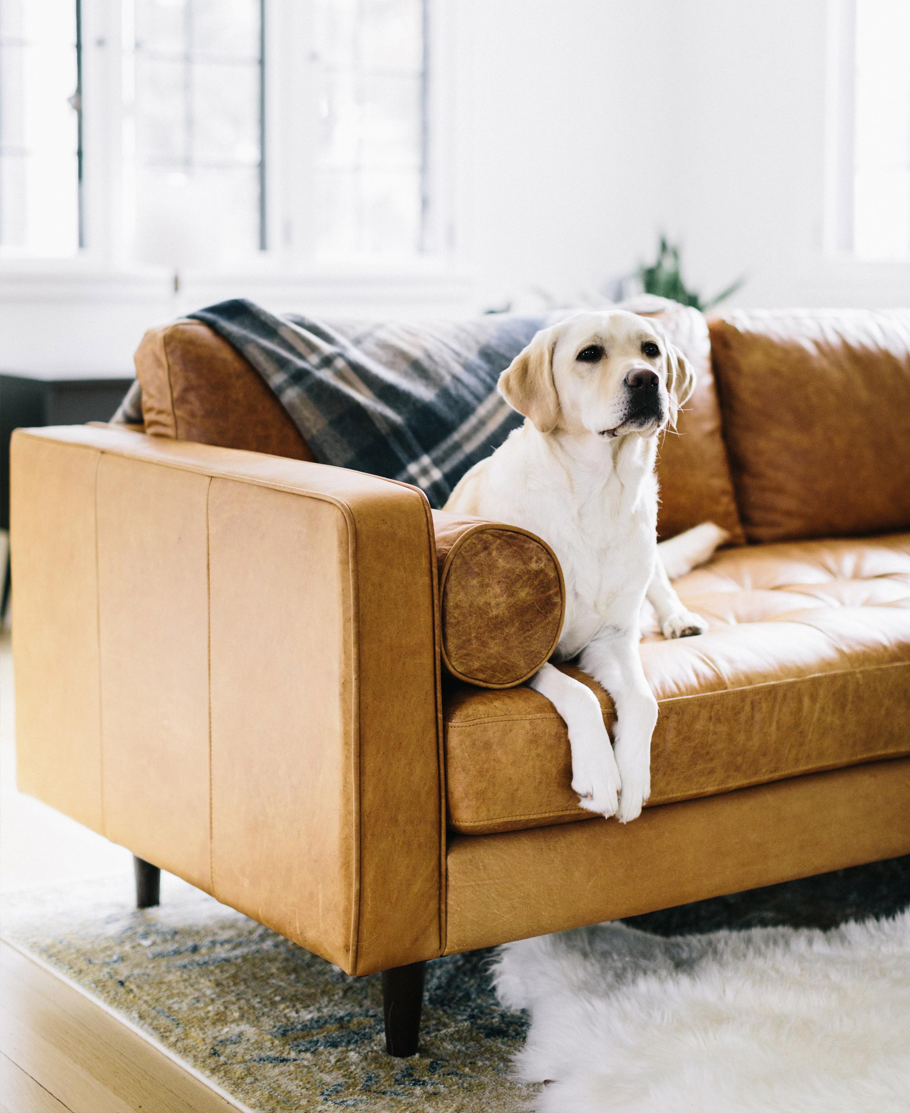 A yellow lab relaxes on a cognac leather sofa.